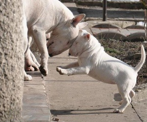 dog, puppy, and bull terrier image