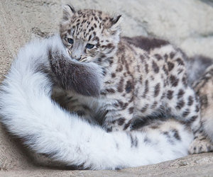 animal, snow leopard, and cute image