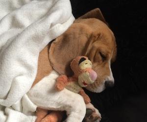 beagle, beagles, and boy image