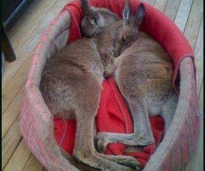 kangaroo, adorable, and animal image