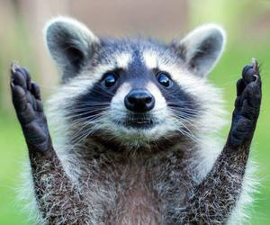 baby animals, racoon, and cute animals image