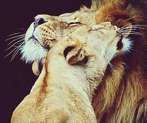animals, lions, and love image