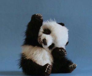 animals, panda, and cute image