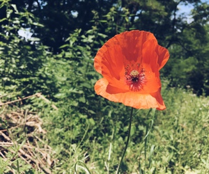 flower, forest, and poppy image