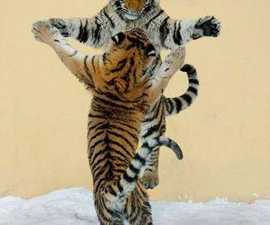 tigers, animal, and tiger image