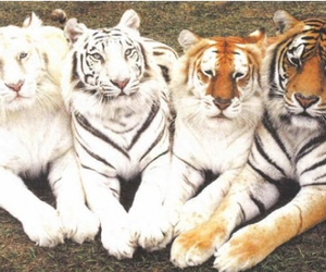 tigers, tiger, and animal image