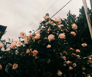 flowers, roses, and sky image