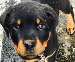 puppy, rottweiler, and cute image