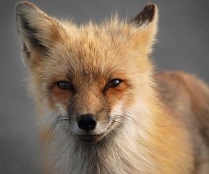 fox, animal, and photography image