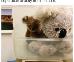 animals, Koala, and cute image