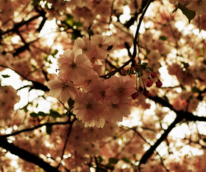 cherry blossom and pink image