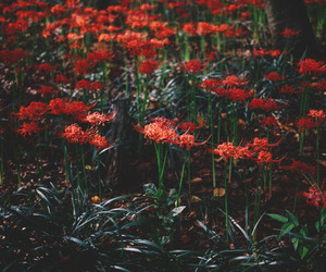 flowers, nature, and red image