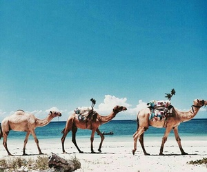 animal, camels, and summer image