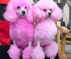 animal and pink poodles cute image