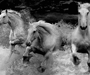 b&w and horses image