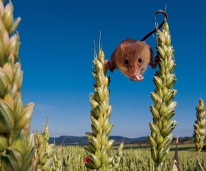 animal, field, and mouse image