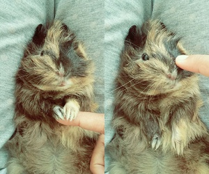 animal, guinea pig, and pet image