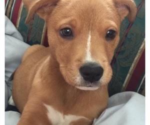 dog, pitbull, and puppy image