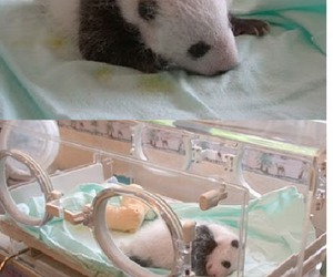 funny, panda, and baby image