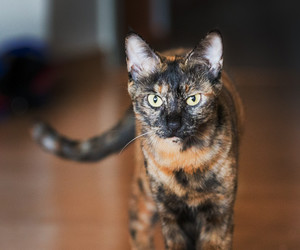 cat, molly, and tortoiseshell image
