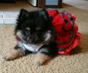POM, puppy, and sweet image