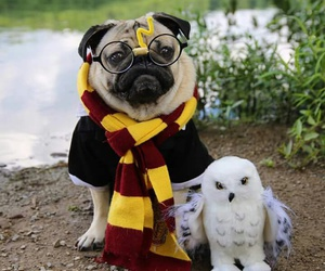 pugs and harry potter image