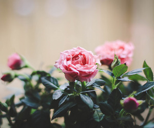 flowers, roses, and garden image