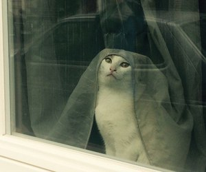 cat, window, and curtain image
