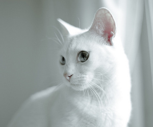 cat and white image