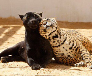 animal, cat, and leopard image