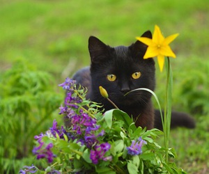 black cat, flowers, and daffodil image