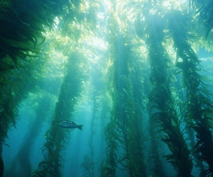 kelp and seaweed forests image