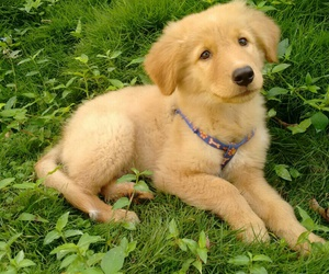 dog, golden, and pets image