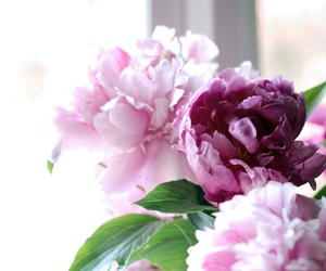 peonies, flowers, and nature image
