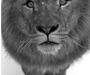 lion, photography, and cute image