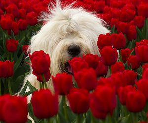 dog, red, and tulips image