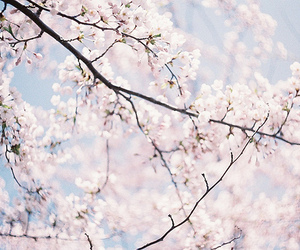cherry blossoms, floral, and flower image