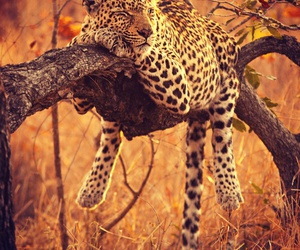 animal, leopard, and sleep image