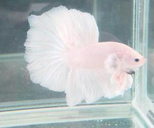 fish, pink, and pale image