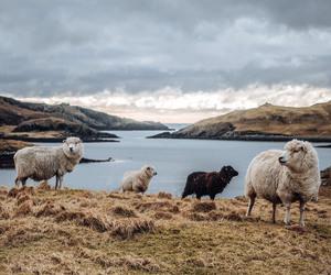 sheep, Atlantic, and nature image