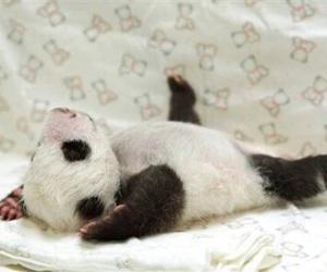 panda, animal, and baby image