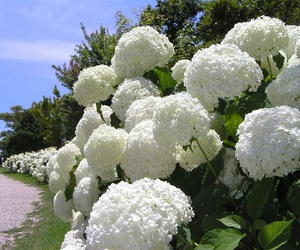 flower, nature, and hydrangea image