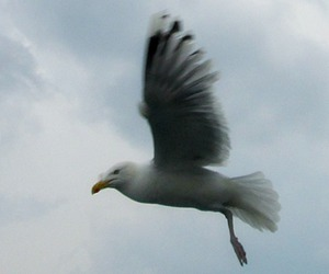bird, seagull, and Flying image