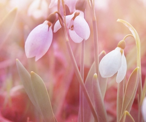 flowers, pink, and snowdrops image