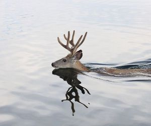 deer, animal, and water image