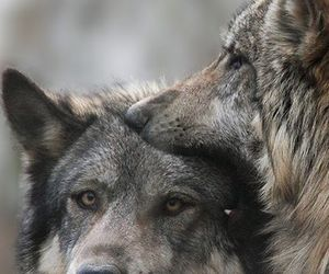animals and wolves image