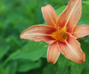beaty, flower, and orange image