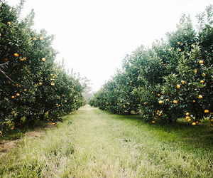 fiona harding photography and citrus orchard image