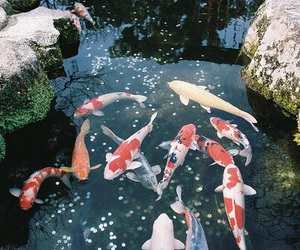 fish, koi, and water image