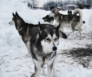 animal, dog, and husky image